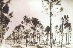 Pinus_Pinea_14